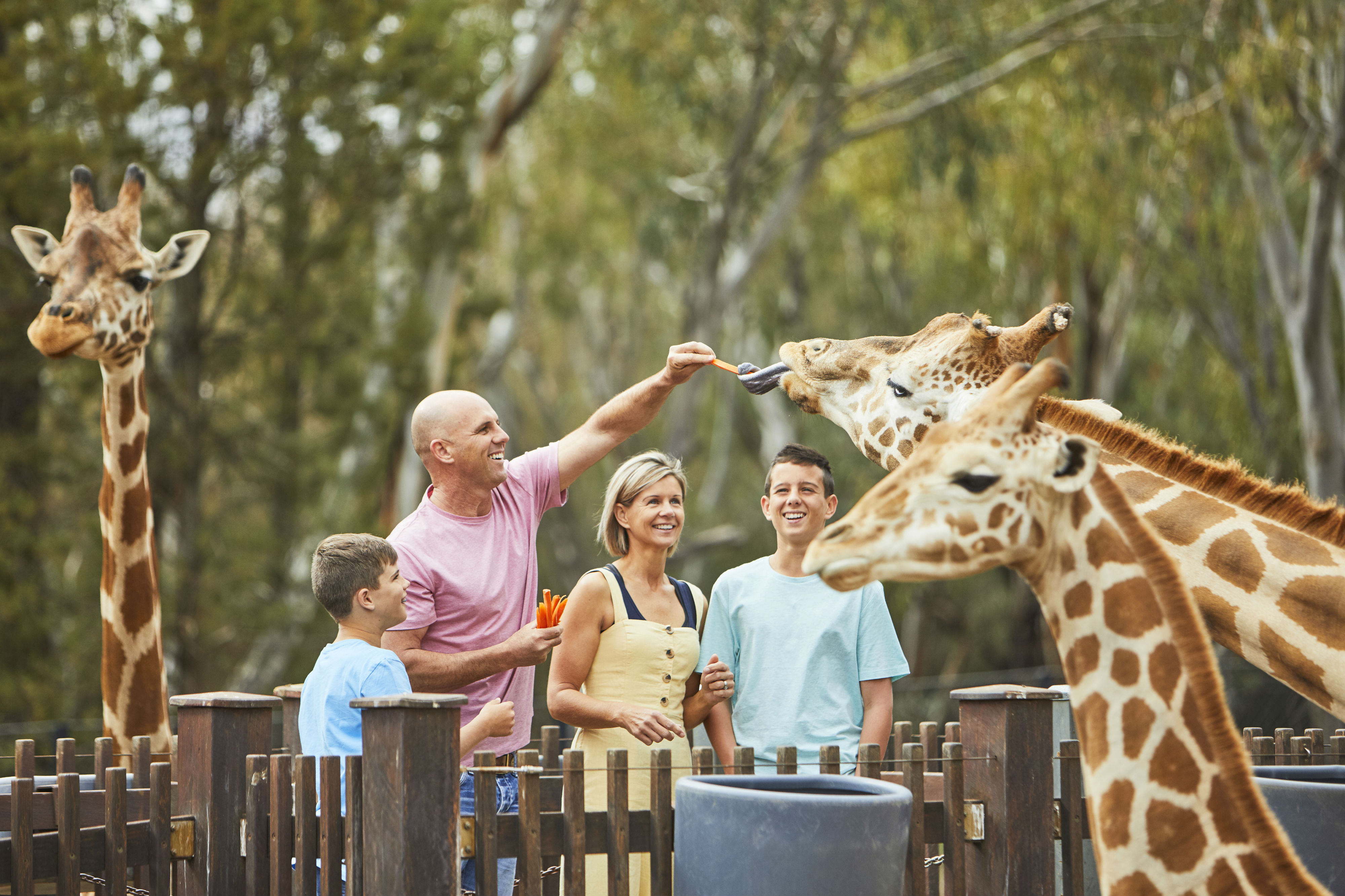 Taronga_Western_Plains_Zoo_Giraffe_CREDITDestinationNSW